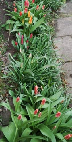 Tulpen-02e