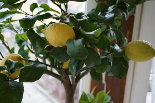 Zitrone01