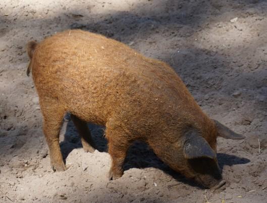 Mangalitza-Schwein-01