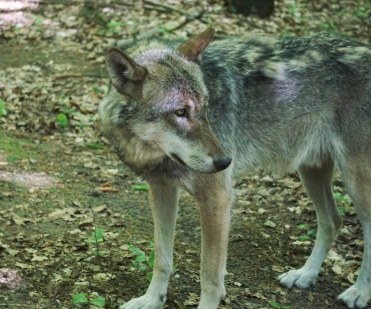 Wolf-01k