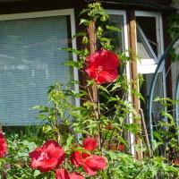 Gartenfreude mit Monsterblüten