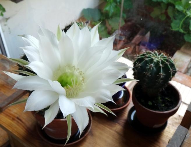 Kaktus-01
