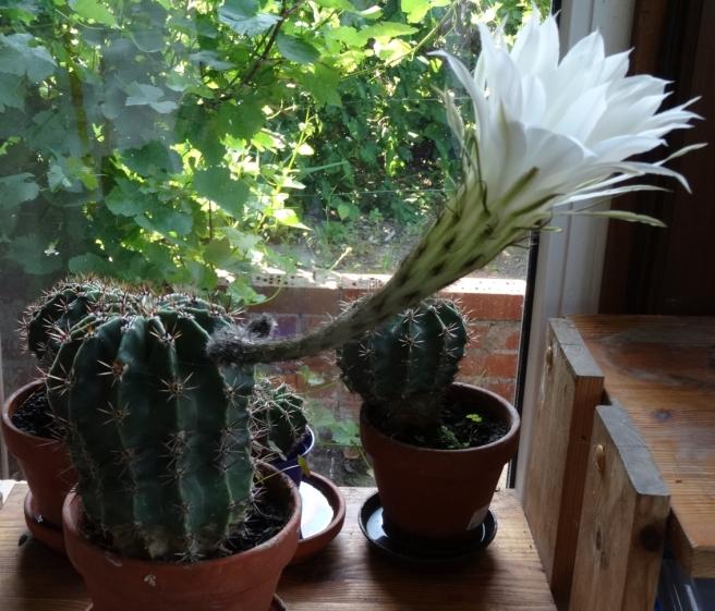 Kaktus-02